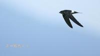 アマツバメ - 北の野鳥たち