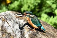 N公園の翡翠撮影 - 池のフォト遊び