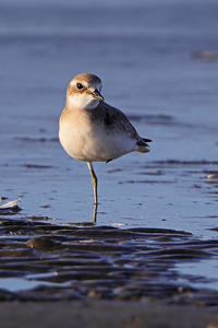 Mongolian Plover - 季節の野鳥~Wildbirds archives