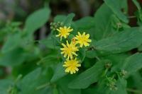 ■秋の草花 3種19.9.17(ヤクシソウ、ゲンノショウコ、ツルニンジン) - 舞岡公園の自然2