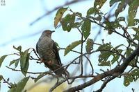 今季初のツツドリ - 野鳥公園