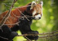 シセンレッサーパンダ - 動物園の住人たち写真展(はなけもの写眞店)