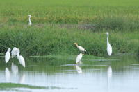 アマサギ② 夏羽が濃く残る1羽 - 気まぐれ野鳥写真
