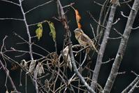 秋雨の中、今季初の出会いでした。 - 鳥と共に日々是好日