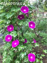 お庭のお花と本日のお弁当♪ - まこぺんこ's  WORLD      のんびり安曇野ぐらし♪