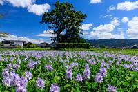 夏の花畑2019本薬師寺跡のホテイアオイ - 花景色-K.W.C. PhotoBlog