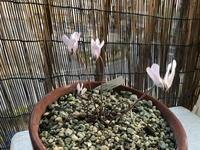 ベランダの植物 - リリ子の一坪ガーデン