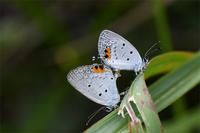 絶滅危惧種1B本土亜種タイワンツバメシジミ - 蝶と自然の物語