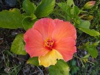 お客様に合わせて咲くハイビスカス - Nature Care