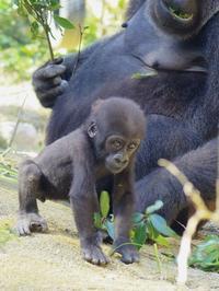 キンタロウの小さな冒険[京都市動物園] - a diary of primates
