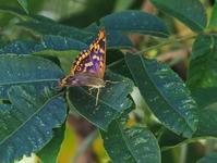 残暑の中、河原のチョウを探す - 蝶超天国
