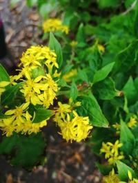 烏ケ山で出会った植物 - 三日おばさん