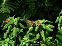 ツマベニチョウ♀ - 飛騨山脈の自然