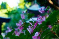 秋海棠プロローグ - toshi の ならはまほろば