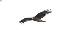 皇鈴山のトビ(幼鳥?) - 野鳥公園