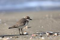 初秋朝の海辺 - 綺麗な野鳥たち