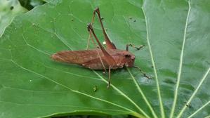 クサキリを二回り位、大きくしたサイズです - 昆虫ブログ むし探検広場