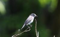 渡りの立ち寄りエゾビタキ - 私の鳥撮り散歩
