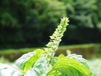「菊池水源産エゴマ」白エゴマは花から実へ!黒エゴマ土寄せを施し元気に成長中! - FLCパートナーズストア