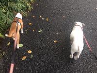 M兄さんと朝散歩 - ミニチュアブルテリア ダージと一緒3