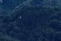 下界の空を自由に泳ぐクマタカ - 野鳥公園