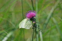 スジボソヤマキチョウ高原は晩秋の佇まい - 蝶のいる風景blog