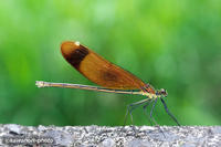 深山河蜻蛉【ミヤマカワトンボ】 - kawanori-photo