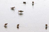 オグロシギほか - 今日の鳥さんⅡ
