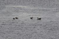 今日のウトナイ湖ほか - 今日の鳥さんⅡ