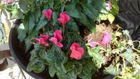 ガーデンシクラメンを玄関前に - うちの庭の備忘録 green's garden