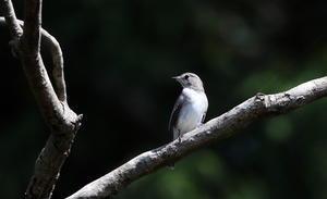 MFの森で渡りの立ち寄りのコサメビタキ - 私の鳥撮り散歩