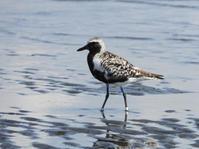 ダイゼン、ミユビシギ@三番瀬海浜公園 - 青爺の野鳥日記