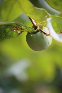 青い柿の実 - 平凡な日々の中で