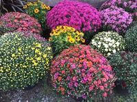 秋は菊、IngersollのFarmersMarket - タイタスのいるところ      London Ontario