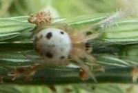#クモ『美女鬼蜘蛛』   Araneus mitificus - 自然感察 *nature feeling*