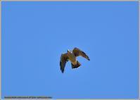 オオタカの成鳥が大空を旋回 - 野鳥の素顔 <野鳥と日々の出来事>