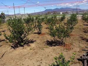 ブルーベリーの収穫が... - Rose&Farm