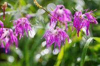 苗場山 夏の花(赤系) - 自然と仲良くなれたらいいな2