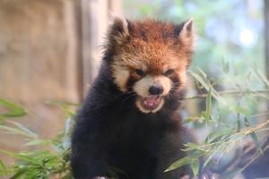 International RedPanda Day - 動物園に嵌り中2