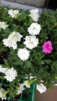 サフィニアにカビ - うちの庭の備忘録 green's garden