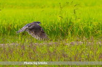 畔で - 野鳥 飛翔フォト