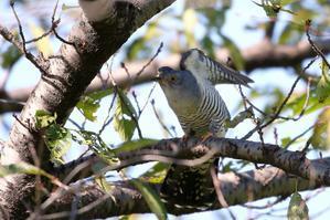 ツツドリのエンゼルポーズ - T/Hの野鳥写真-Ⅲ