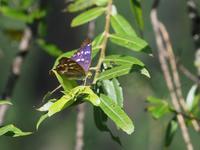 クロコムラサキとツマグロキチョウ - 蝶超天国