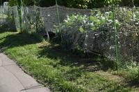 自然栽培ネットが切られた林の影トマトの顔 - 自然栽培 釧路日記