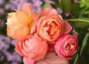 茜に染まる 新たな秋明菊 - カヲリノニワ