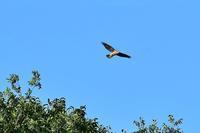 オオタカ幼鳥 - 風のささやき