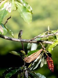 秋のお山の鳥さん③エゾビタキその2 - 下手の横好き