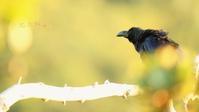 ハシブトガラス - 北の野鳥たち