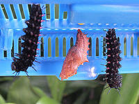 ツマグロヒョウモン(蝶)の蛹化 - しらこばとWeblog