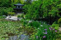 睡蓮と花菖蒲(勧修寺) - 花景色-K.W.C. PhotoBlog